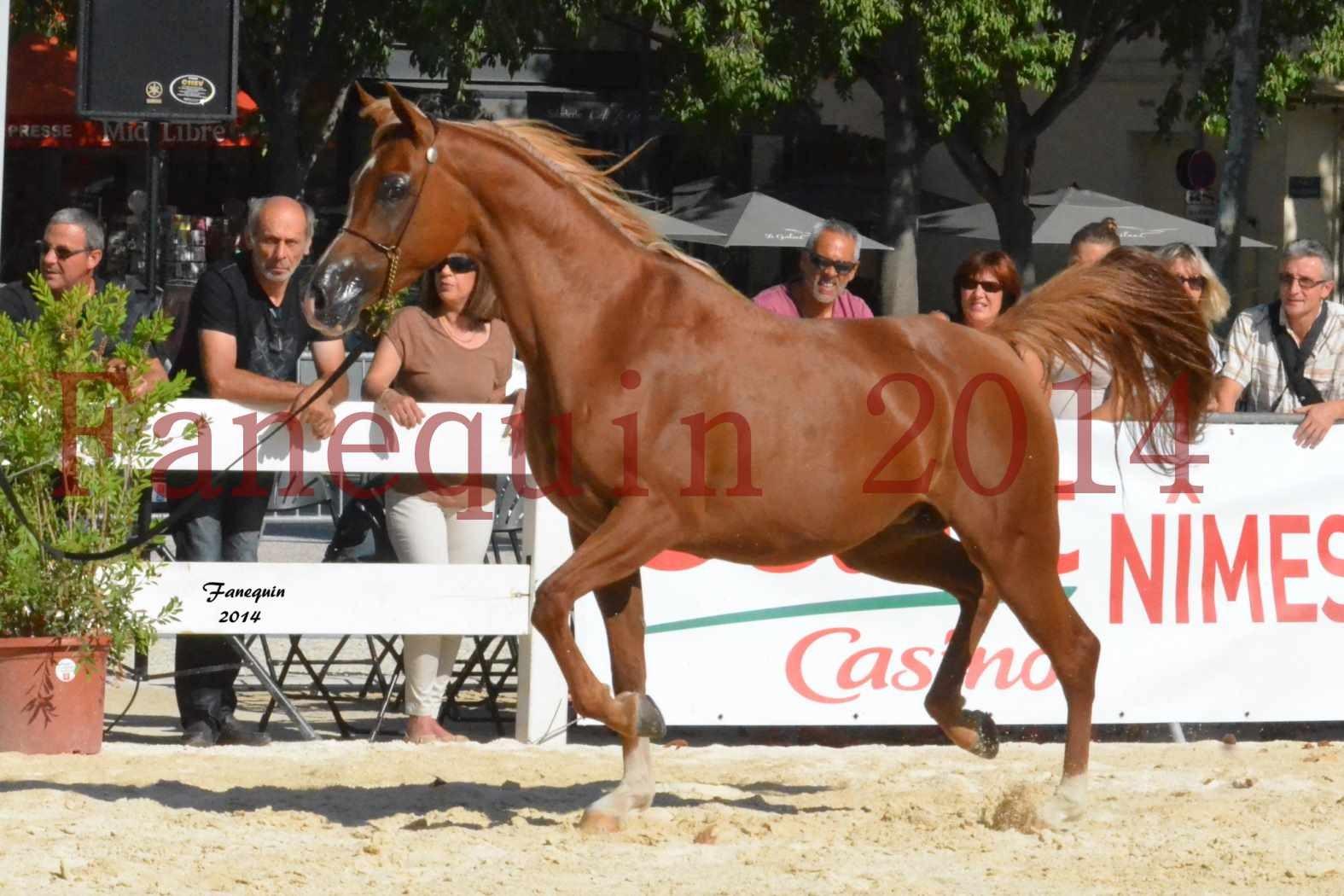 Concours National de Nîmes de chevaux ARABES 2014 - Notre Sélection - MASSAI DE BARREL - 10