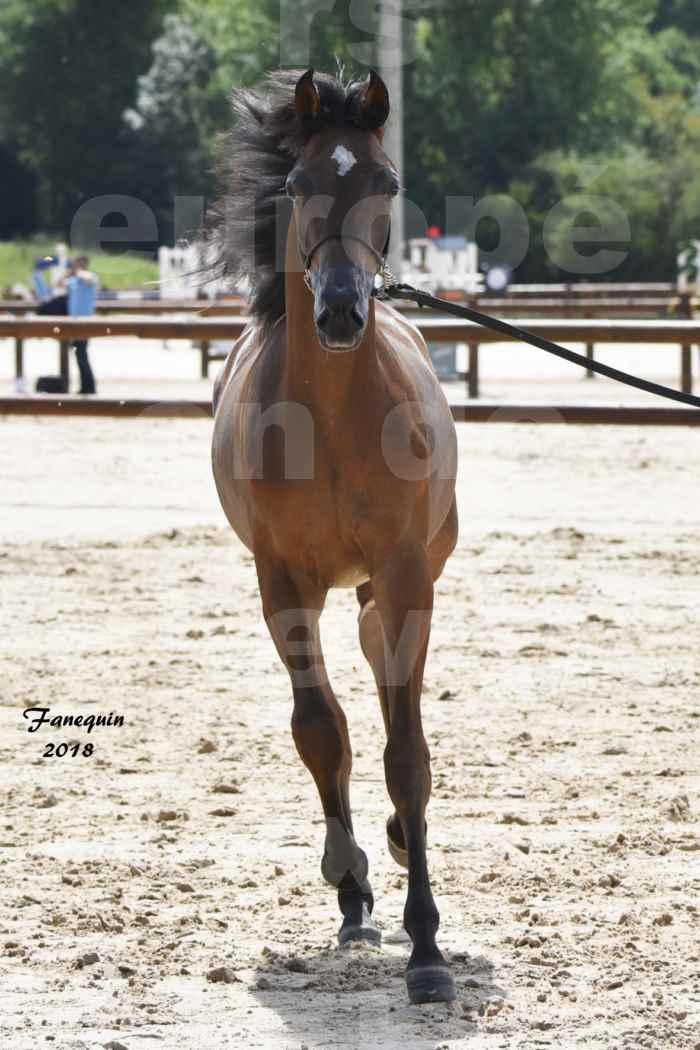 Concours Européen de chevaux Arabes à Chazey sur Ain 2018 - BO AS PRINCE SHAKAR - Notre Sélection - 2