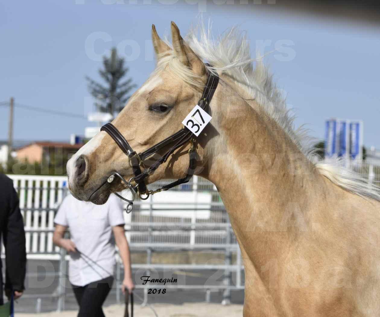 Concours d'élevage de Chevaux Arabes - Demi Sang Arabes - Anglo Arabes - ALBI les 6 & 7 Avril 2018 - GOLD DE DARRE - Notre Sélection - Portraits - 6