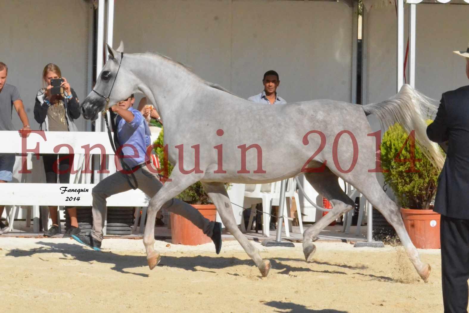 Concours National de Nîmes de chevaux ARABES 2014 - Notre Sélection - ELLESTERA - 07