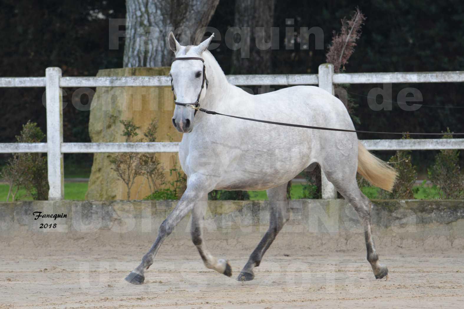 Confirmation de chevaux LUSITANIENS aux Haras d'UZES Novembre 2018 - DANAÏDE DU MOLE - 5