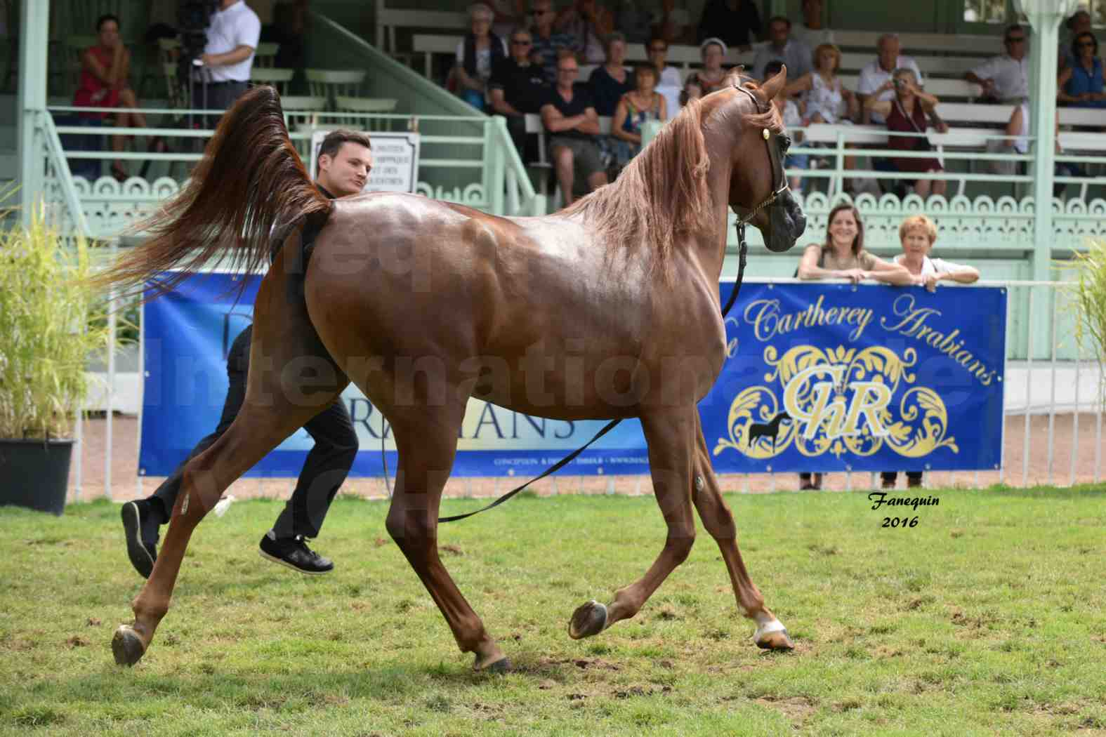 International Arabian Horse Show B de VICHY 2016 - PEARL DE DJOON - Notre Sélection - 33