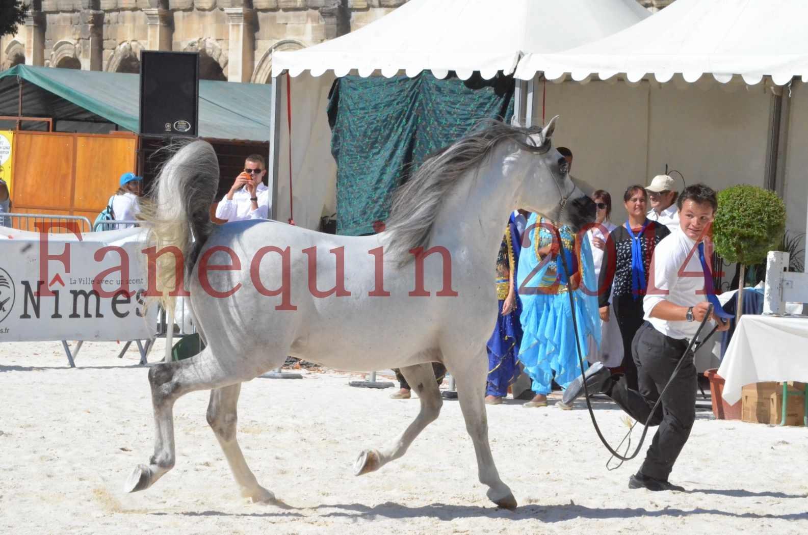 Concours National de Nîmes de chevaux ARABES 2014 - Sélection - SHAOLIN DE NEDJAIA - 62