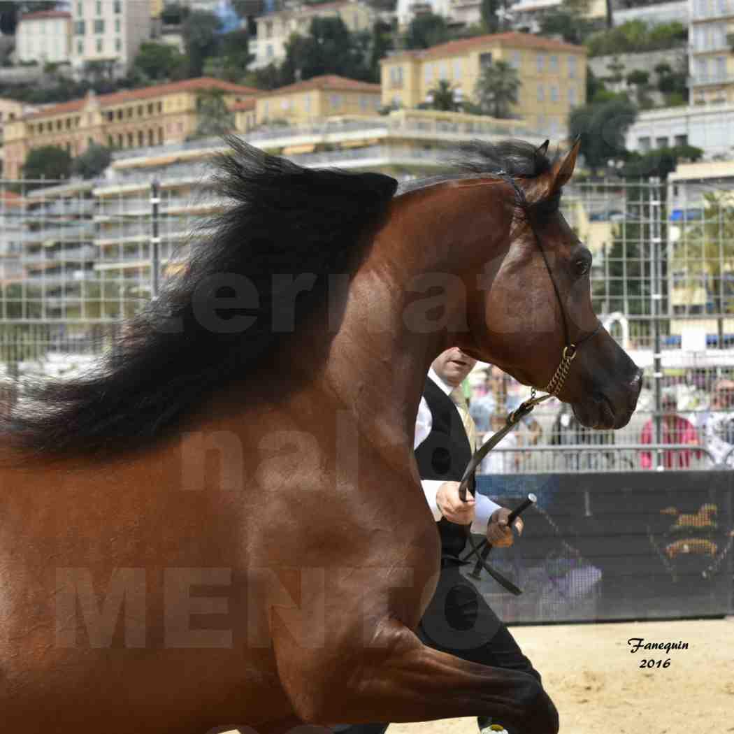 Championnat du pur-sang arabe de la Méditerranée et des pays arabes - MENTON 2016 - GALLARDO J - Notre Sélection - Portraits - 2