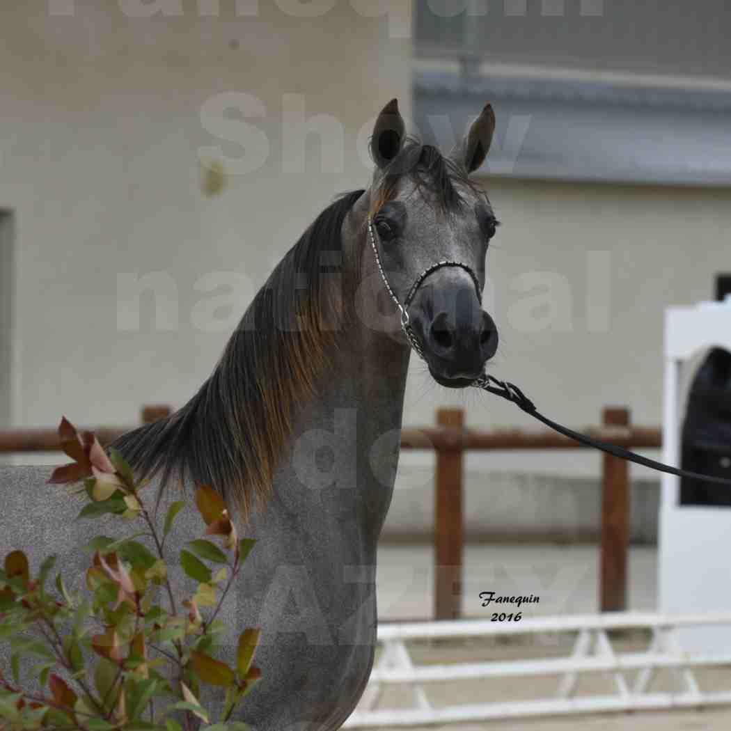 Show national de chevaux arabes de CHAZEY sur AIN 2016 - NM HACINA - Notre Sélection - Portraits - 1