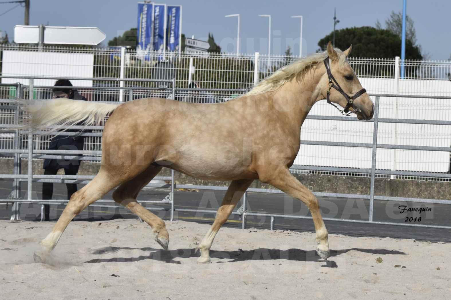 Concours d'élevage de Chevaux Arabes - D. S. A. - A. A. - ALBI les 6 & 7 Avril 2018 - GOLD DE DARRE - Notre Sélection - 6