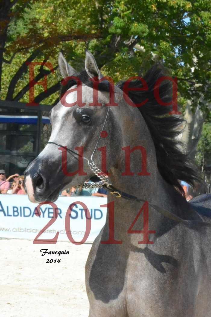 Concours National de Nîmes de chevaux ARABES 2014 - Notre Sélection - Portraits - JOSEPH'S BOUZIOLS - 05