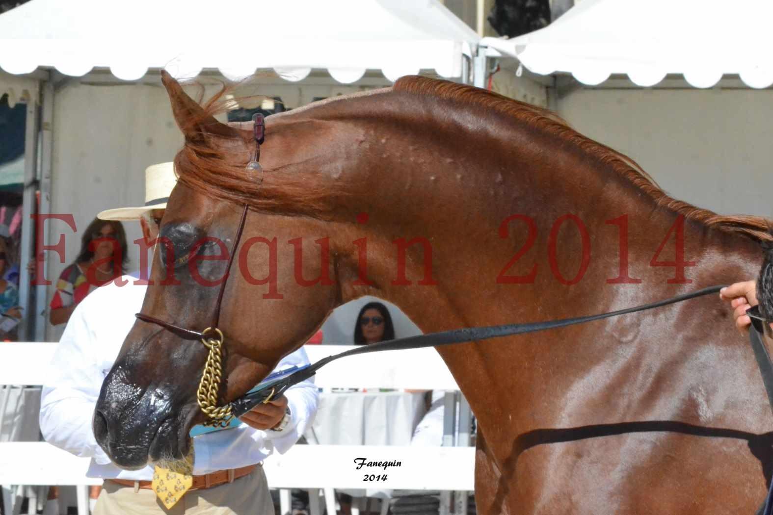 Concours National de Nîmes de chevaux ARABES 2014 - Notre Sélection - Portraits - AINHOA LE BASQUE - 1
