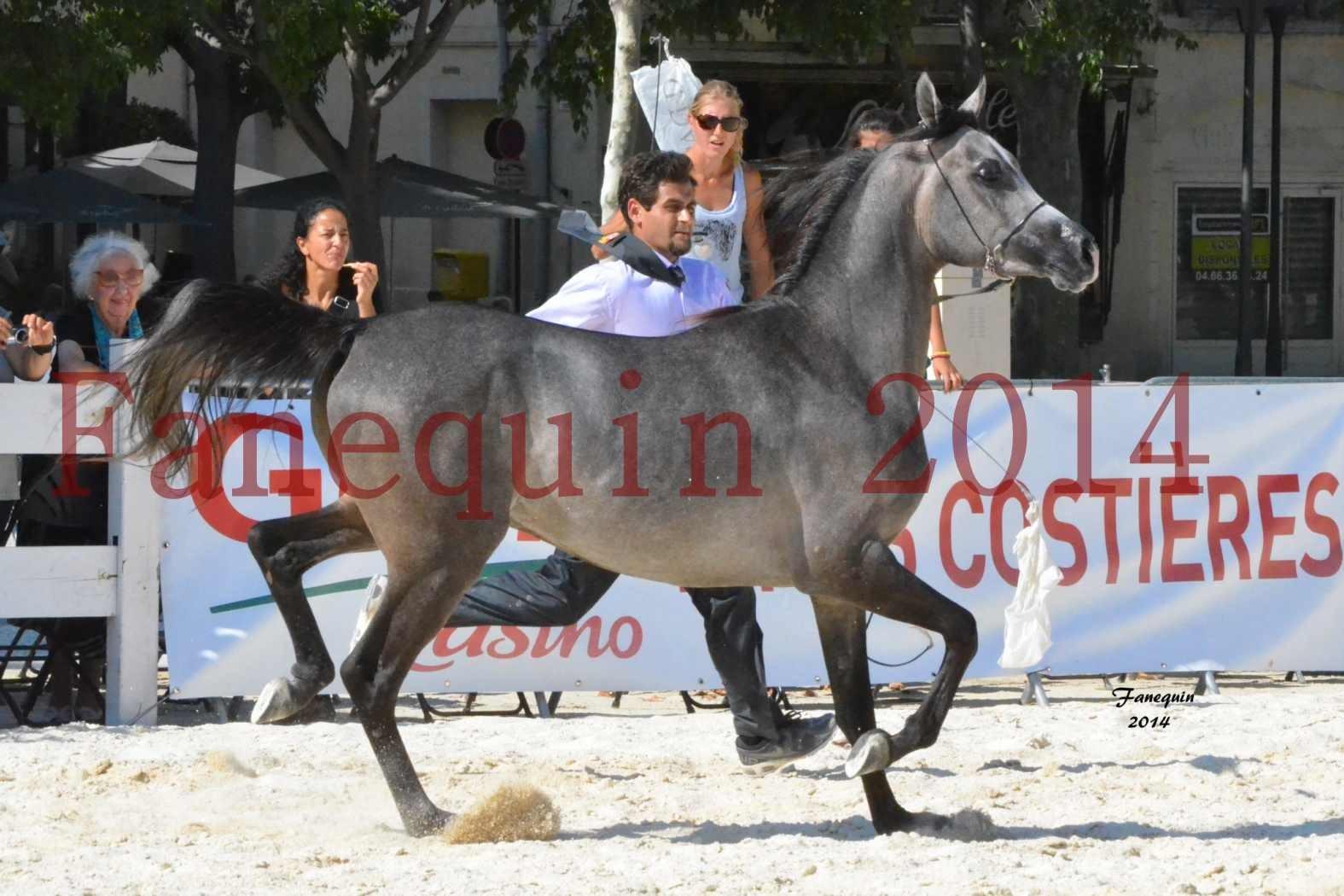 Concours National de Nîmes de chevaux ARABES 2014 - Notre Sélection - JOSEPH'S BOUZIOLS - 02