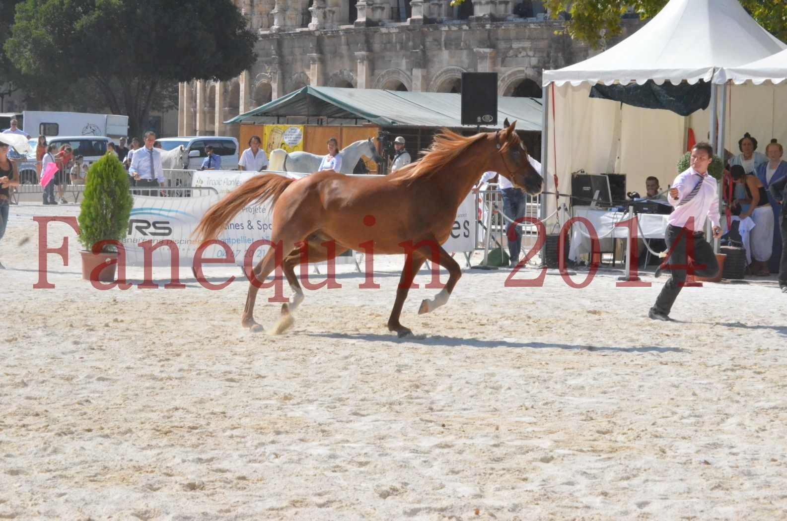Concours National de Nîmes de chevaux ARABES 2014 - Championnat - MASSAI DE BARREL - 10