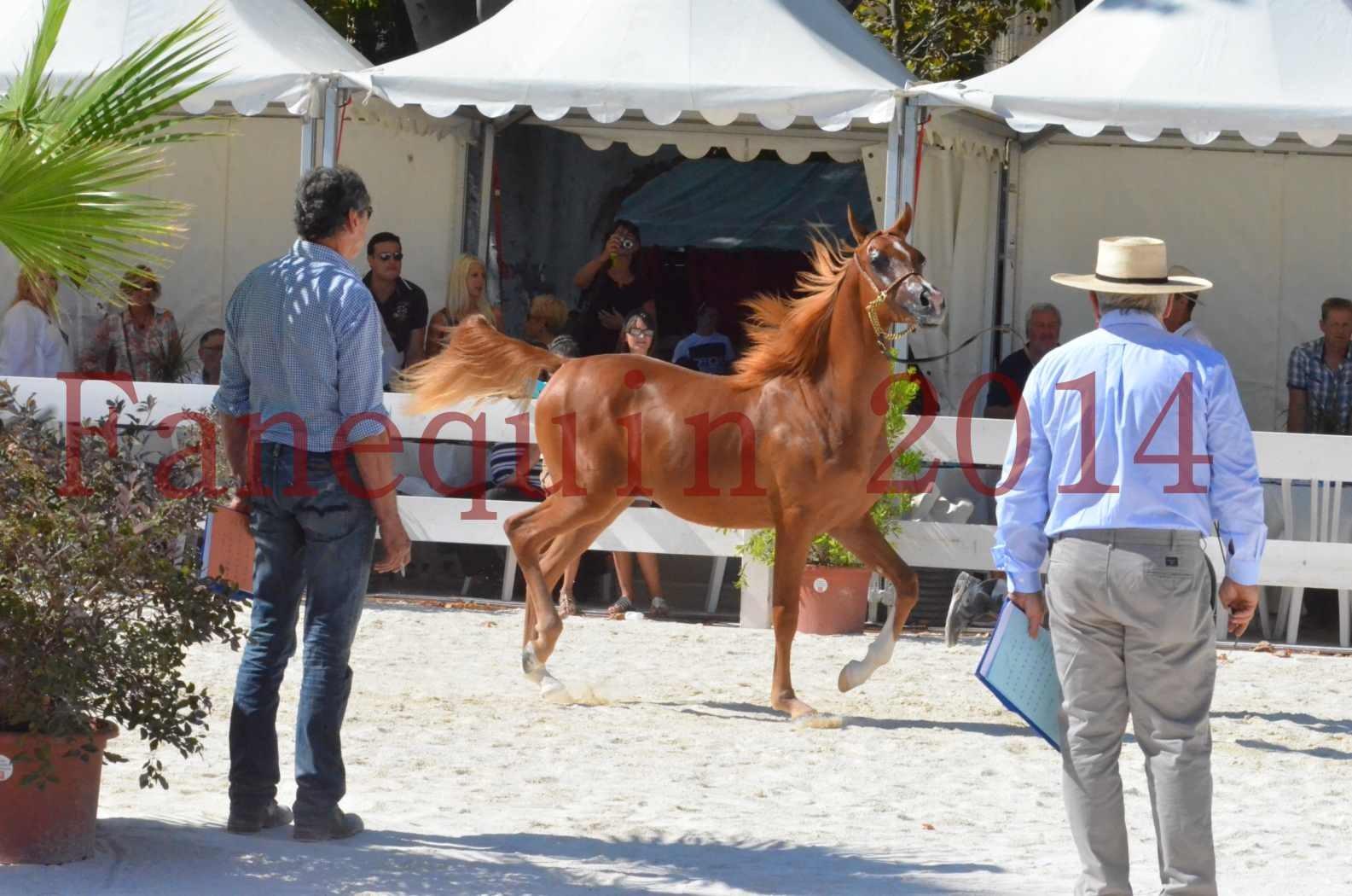 Concours National de Nîmes de chevaux ARABES 2014 - TSAR NERIO - 20