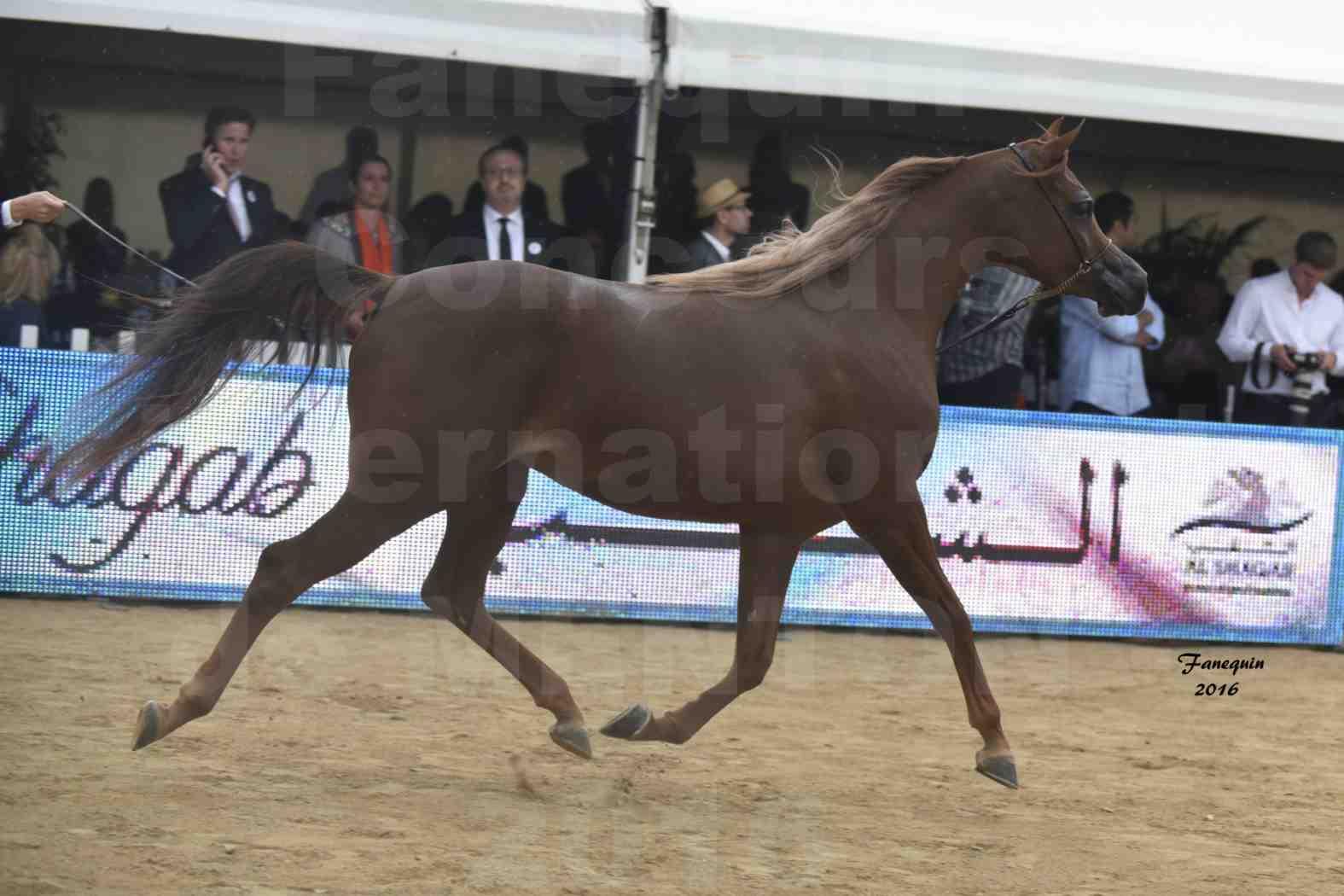 Championnat du pur-sang arabe de la Méditerranée et des pays arabes - MENTON 2016 - ELLE FLAMENCA - Notre Sélection - 12
