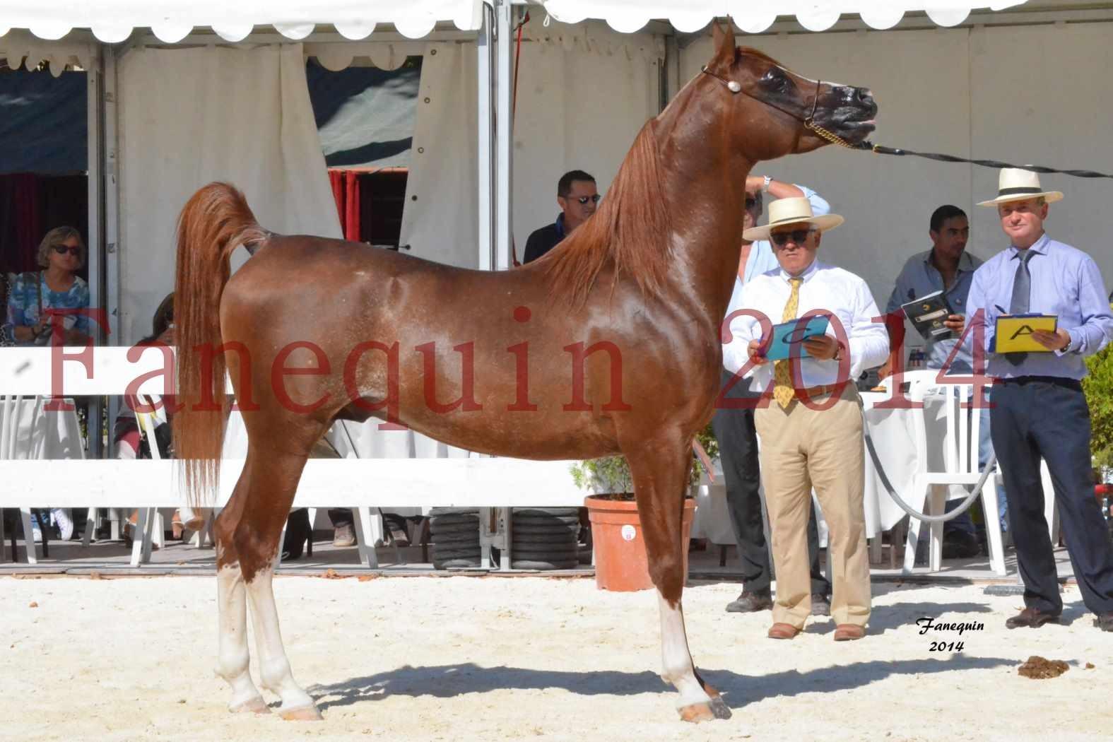 Concours National de Nîmes de chevaux ARABES 2014 - Notre Sélection - AINHOA LE BASQUE - 3