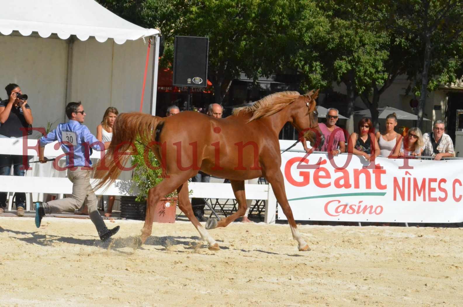 Concours National de Nîmes de chevaux ARABES 2014 - Championnat - MASSAI DE BARREL - 61