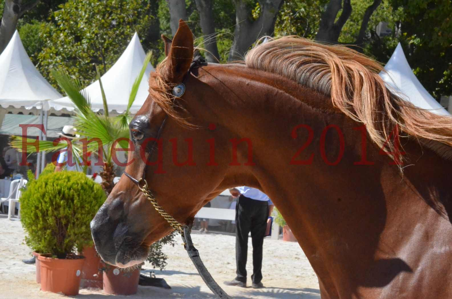 Concours National de Nîmes de chevaux ARABES 2014 - Championnat - MASSAI DE BARREL - 37