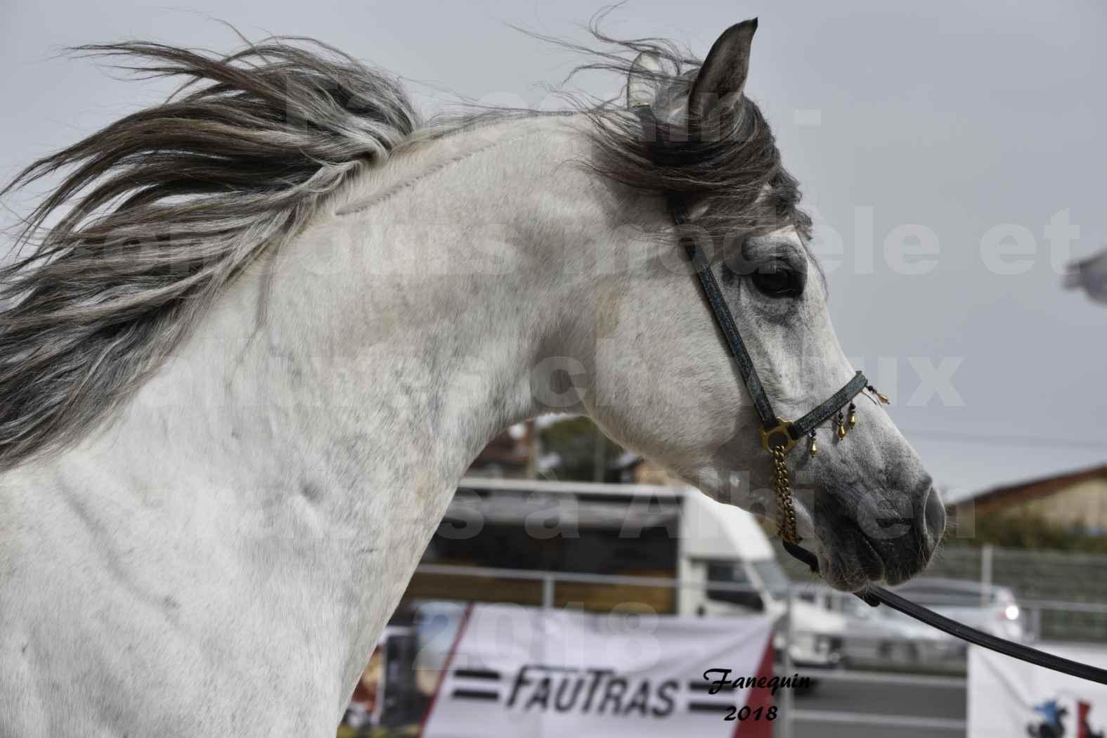 Concours d'élevage de Chevaux Arabes - D. S. A. - A . A - ALBI les 6 & 7 Avril 2018 - FADI ALBIDAYER - Portraits - 02