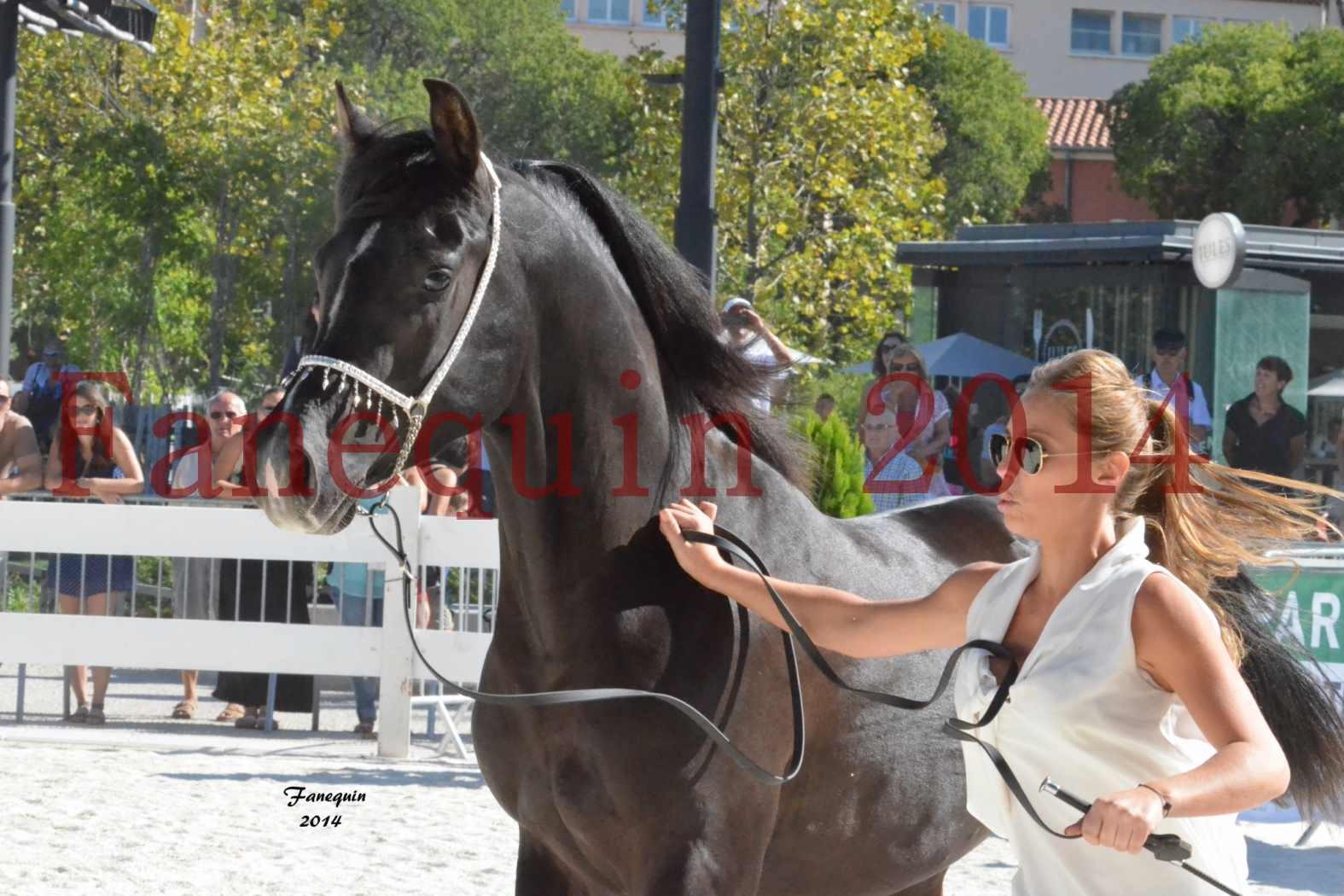Concours National de Nîmes de chevaux ARABES 2014 - Notre Sélection - Portraits - BALTYK DE CHAUMONT - 1