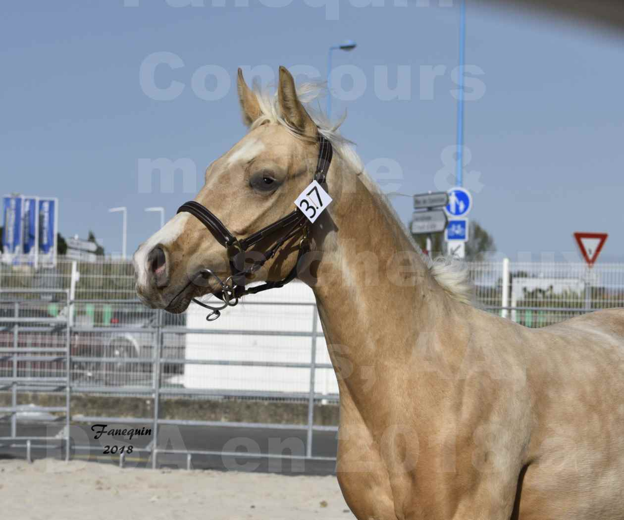 Concours d'élevage de Chevaux Arabes - D. S. A. - A. A. - ALBI les 6 & 7 Avril 2018 - GOLD DE DARRE - Notre Sélection - Portraits - 3