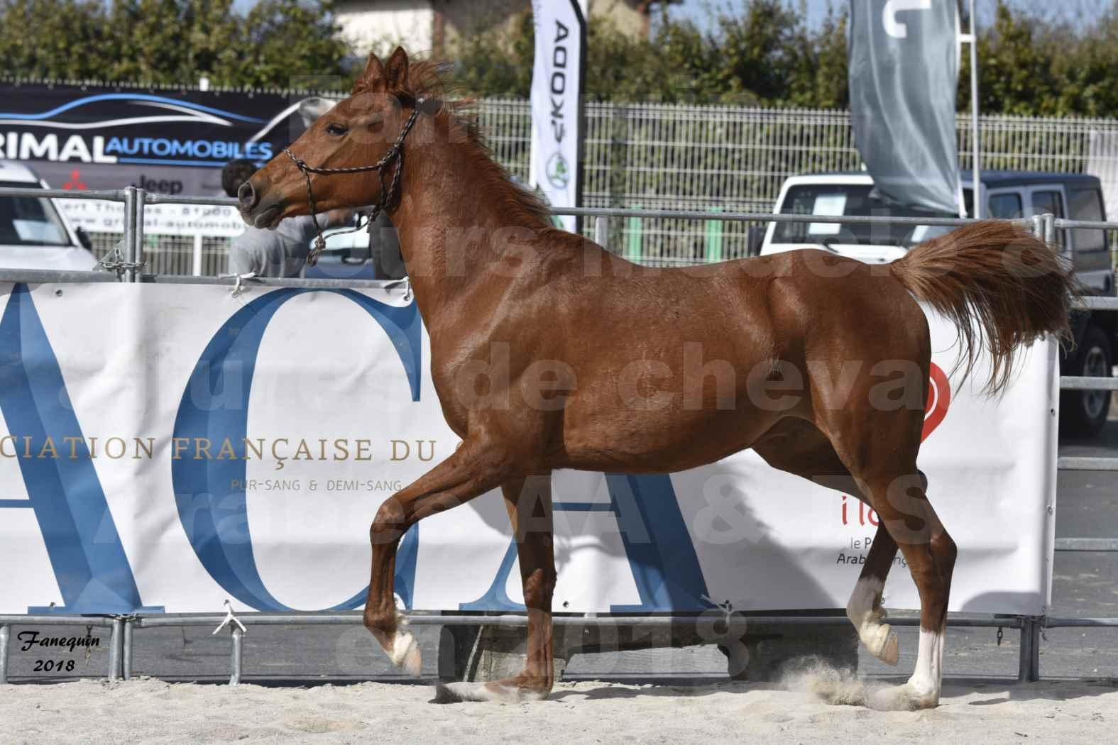 Concours d'élevage de Chevaux Arabes - D. S. A. - A. A. - ALBI les 6 & 7 Avril 2018 - GRIOU DU GRIOU - Notre Sélection - 7