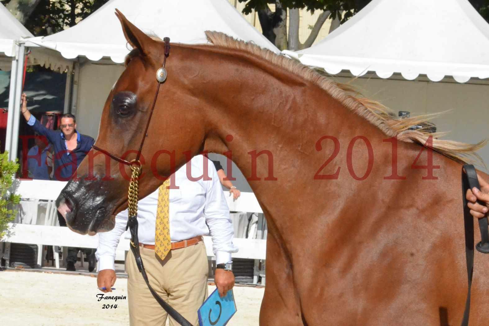 Concours National de Nîmes de chevaux ARABES 2014 - Notre Sélection - Portraits - MASSAI DE BARREL - 3