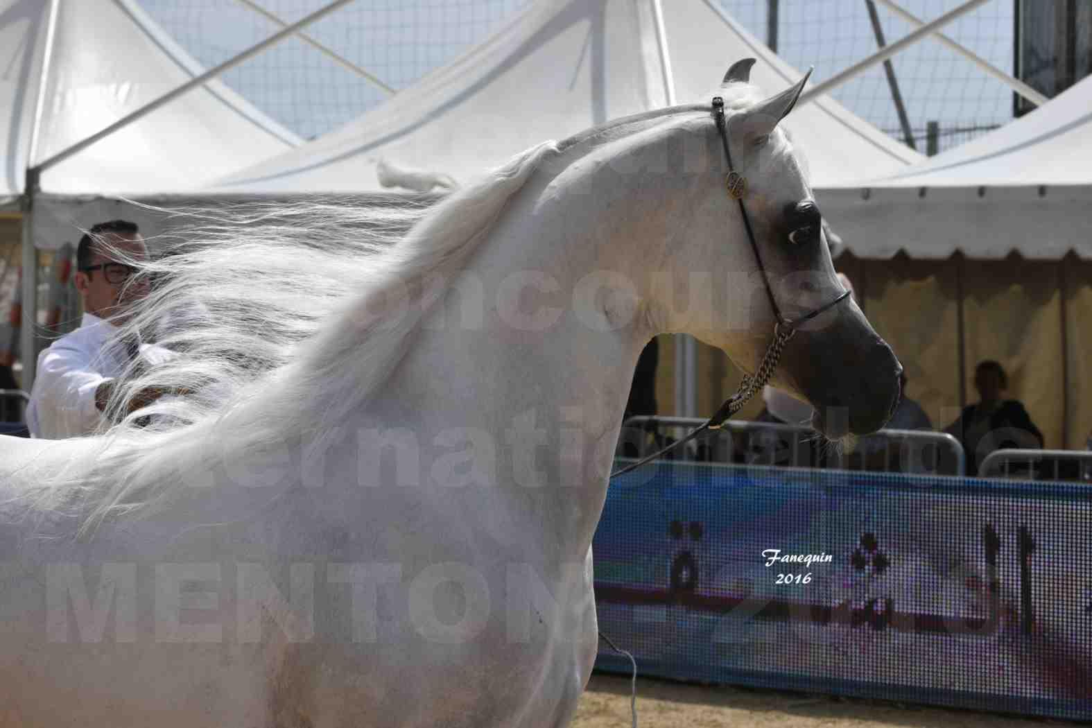 Show International de chevaux ARABES de MENTON 2016 - AJA ANGELO - Notre Sélection - Portraits - 07