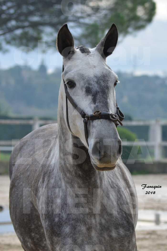 Confirmation de chevaux LUSITANIENS aux Haras d'UZES Novembre 2018 - JAVA DO REAL - Portraits - 1