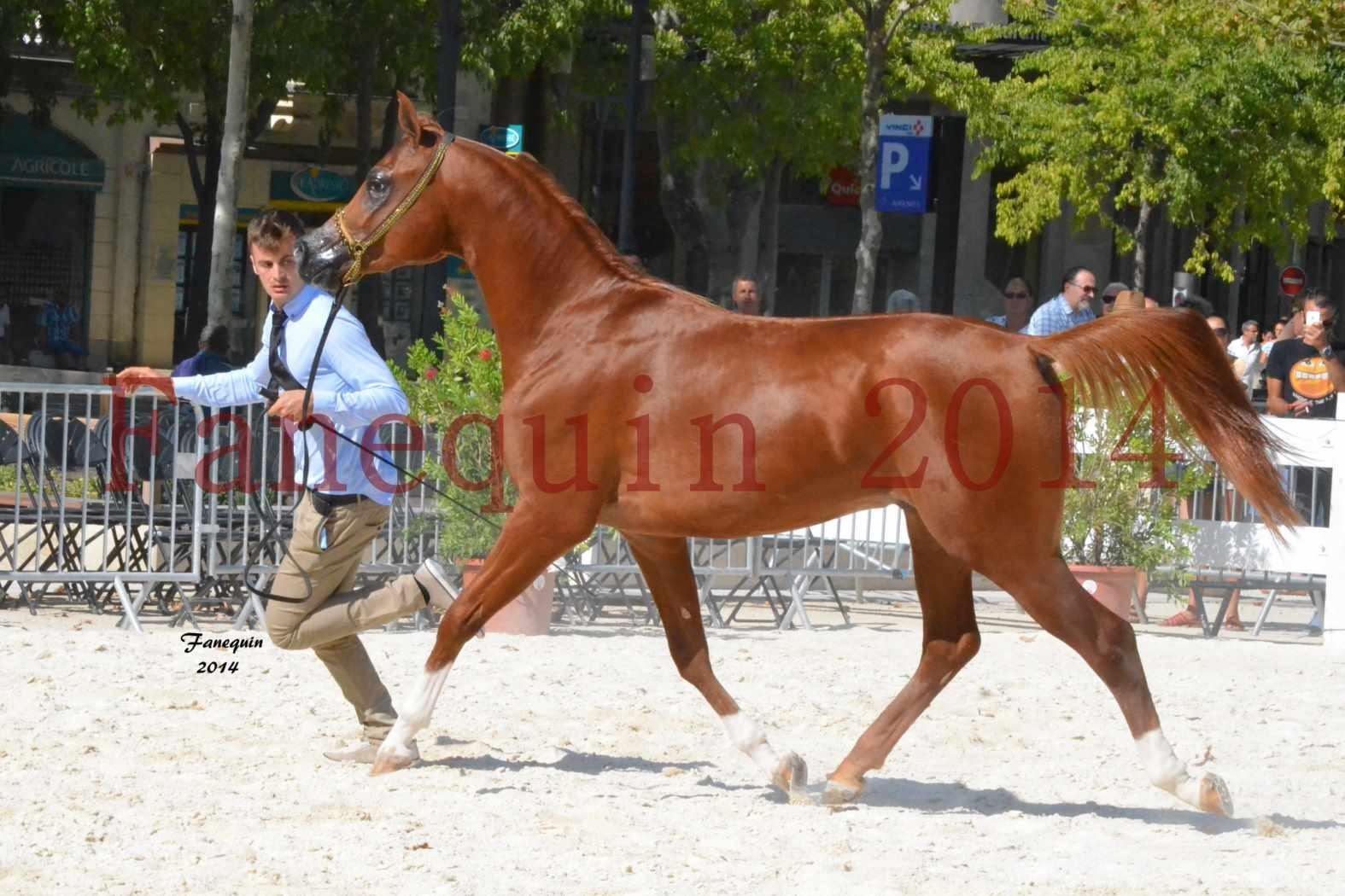 Concours National de Nîmes de chevaux ARABES 2014 - Notre Sélection - DZHARI NUNKI - 03