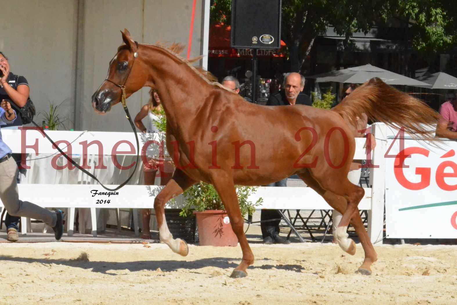 Concours National de Nîmes de chevaux ARABES 2014 - Notre Sélection - MASSAI DE BARREL - 12