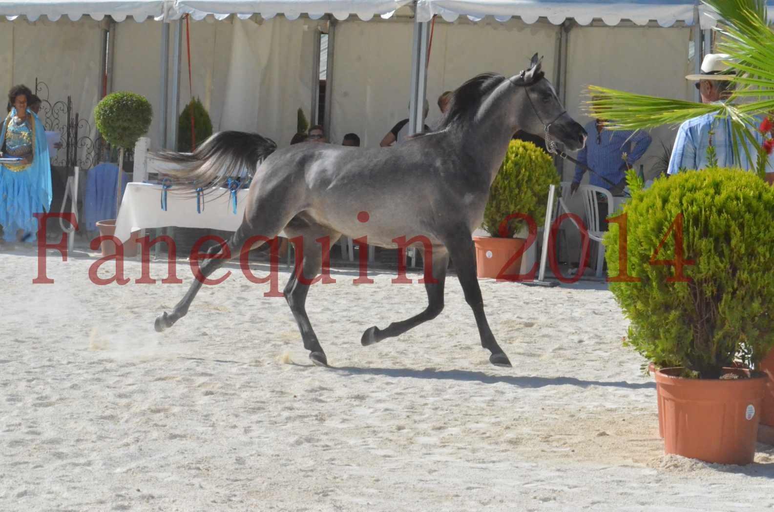 Concours National de Nîmes de chevaux ARABES 2014 - Championnat - JOSEPH'S BOUZIOLS - S 13