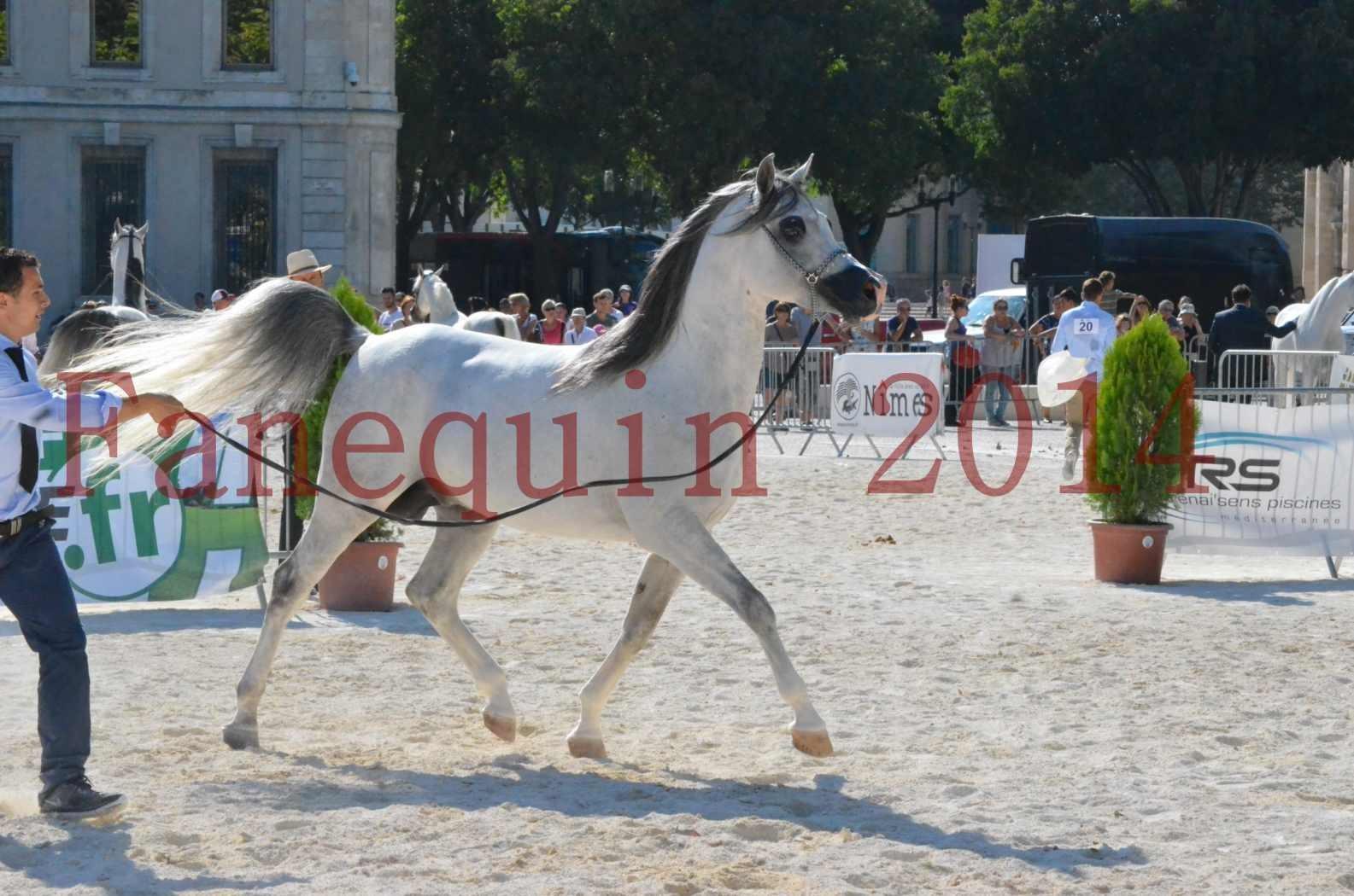 Concours National de Nîmes de chevaux ARABES 2014 - Championnat - SHAOLIN DE NEDJAIA - 35