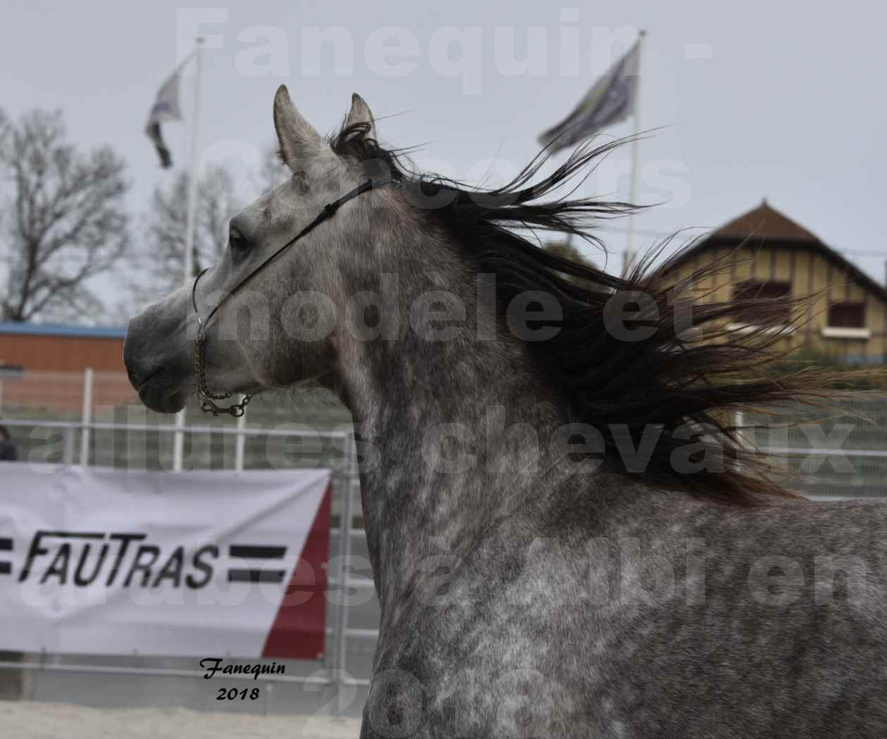 Concours d'élevage de Chevaux Arabes - Demi Sang Arabes - Anglo Arabes - ALBI les 6 & 7 Avril 2018 - PERCEVAL DE LAFON - Notre Sélection - Portraits - 06