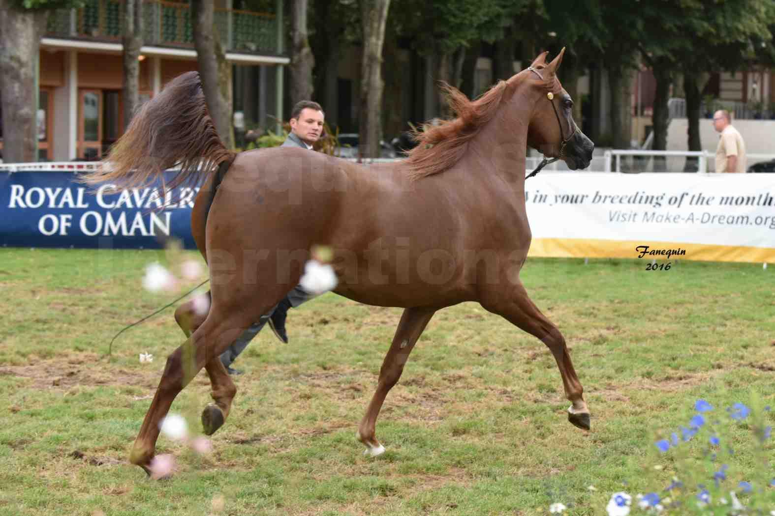 International Arabian Horse Show B de VICHY 2016 - PEARL DE DJOON - Notre Sélection - 18