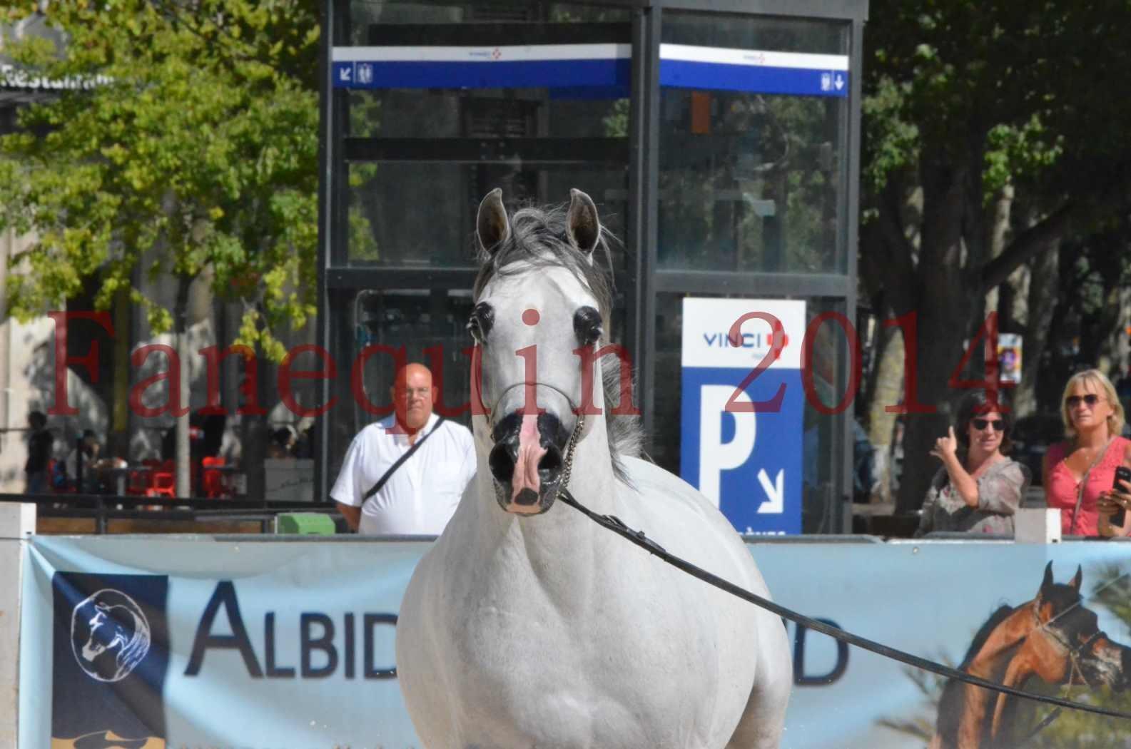 Concours National de Nîmes de chevaux ARABES 2014 - Sélection - SHAOLIN DE NEDJAIA - 48