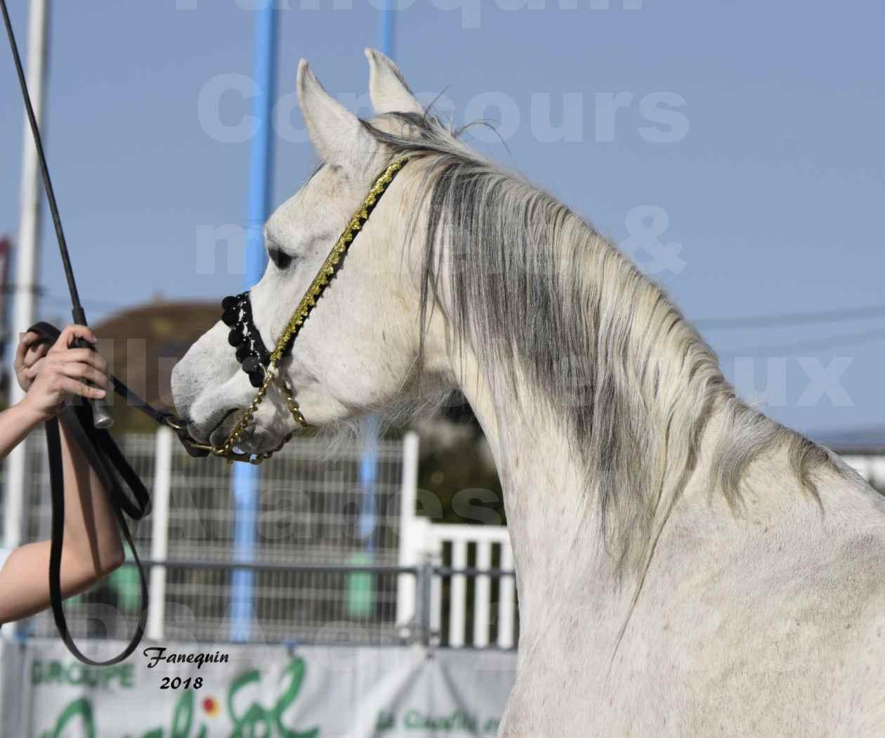 Concours d'élevage de Chevaux Arabes - Demi Sang Arabes - Anglo Arabes - ALBI les 6 & 7 Avril 2018 - NAÏM DE L'OLIVIER - Notre Sélection - Portraits - 3