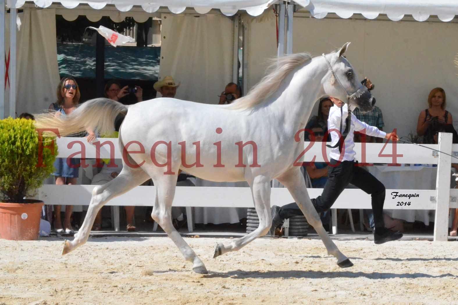 Concours National de Nîmes de chevaux ARABES 2014 - ENVY ETERNITY - 01