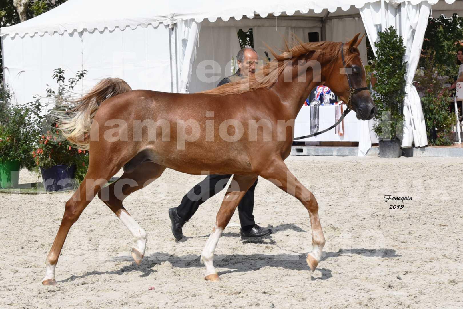 Championnat de France des chevaux Arabes en 2019 à VICHY - NILMANI SH - 1