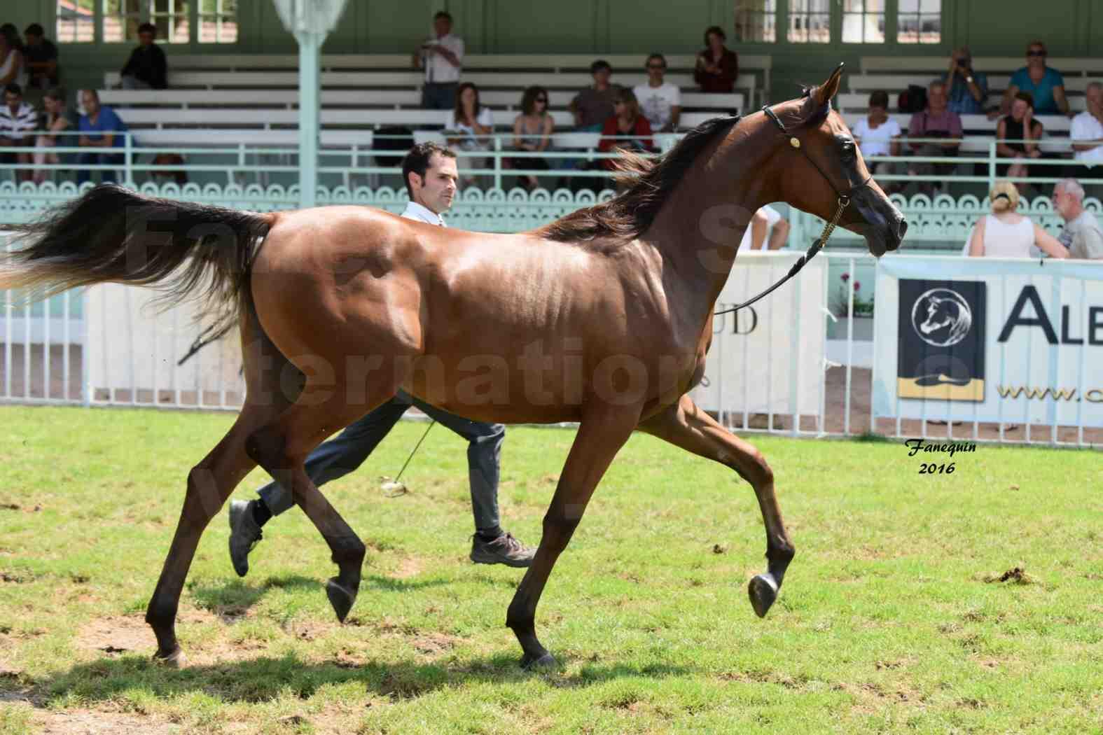 International Arabian Horse Show B de VICHY 2016 - ASRAR MS - Notre Sélection - 1