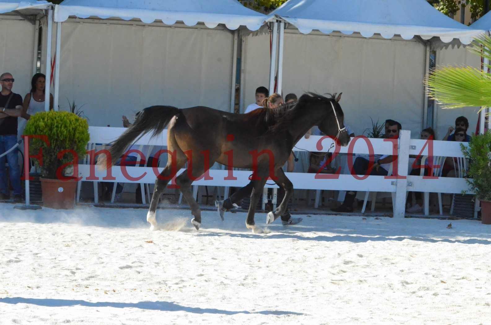 Concours National de Nîmes de chevaux ARABES 2014 - Sélection - Portraits - BALTYK DE CHAUMONT - 10