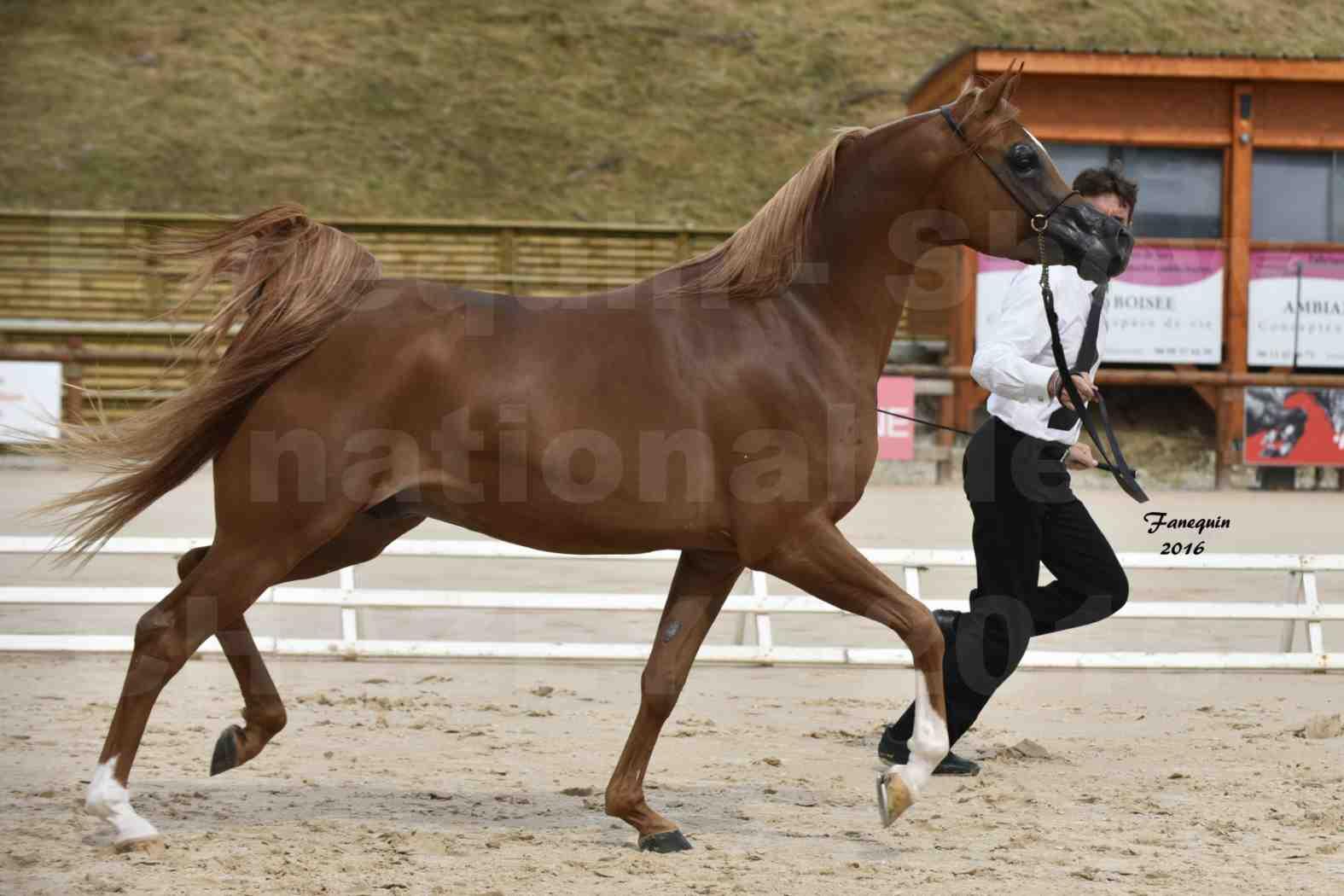 Show national de chevaux Arabes à CHAZEY sur AIN - AMJAD AL ADEYAT - 2