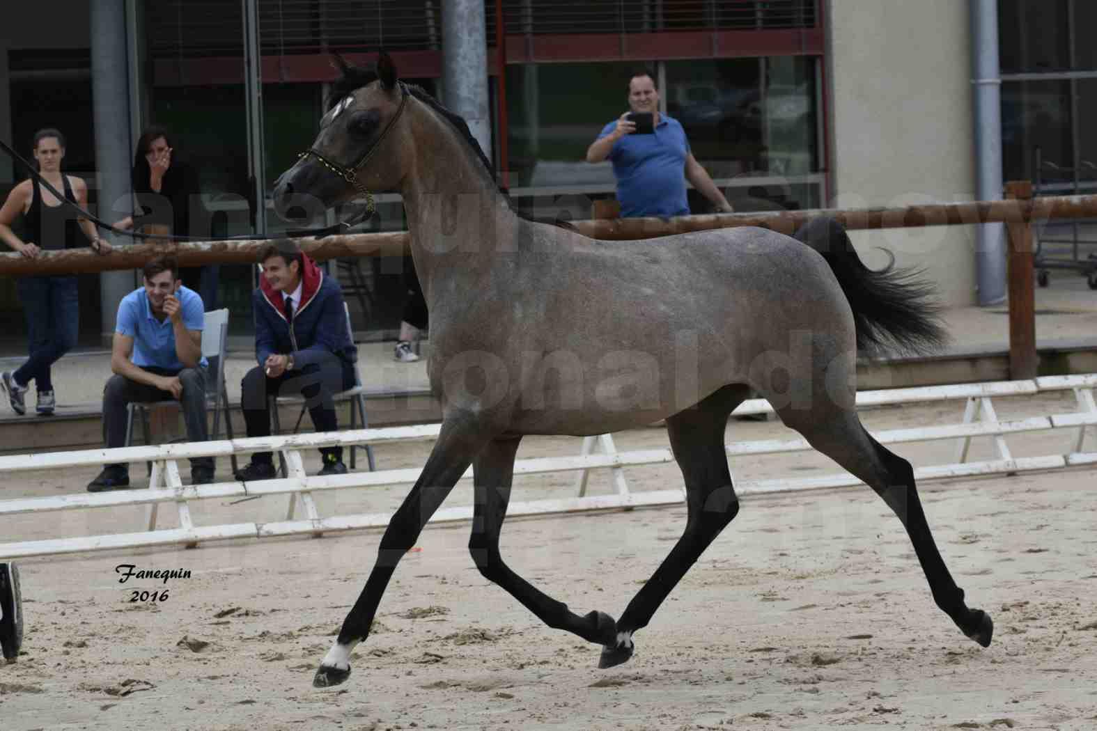 Show national de chevaux arabe de CHAZEY sur AIN - FALOUKA - 9