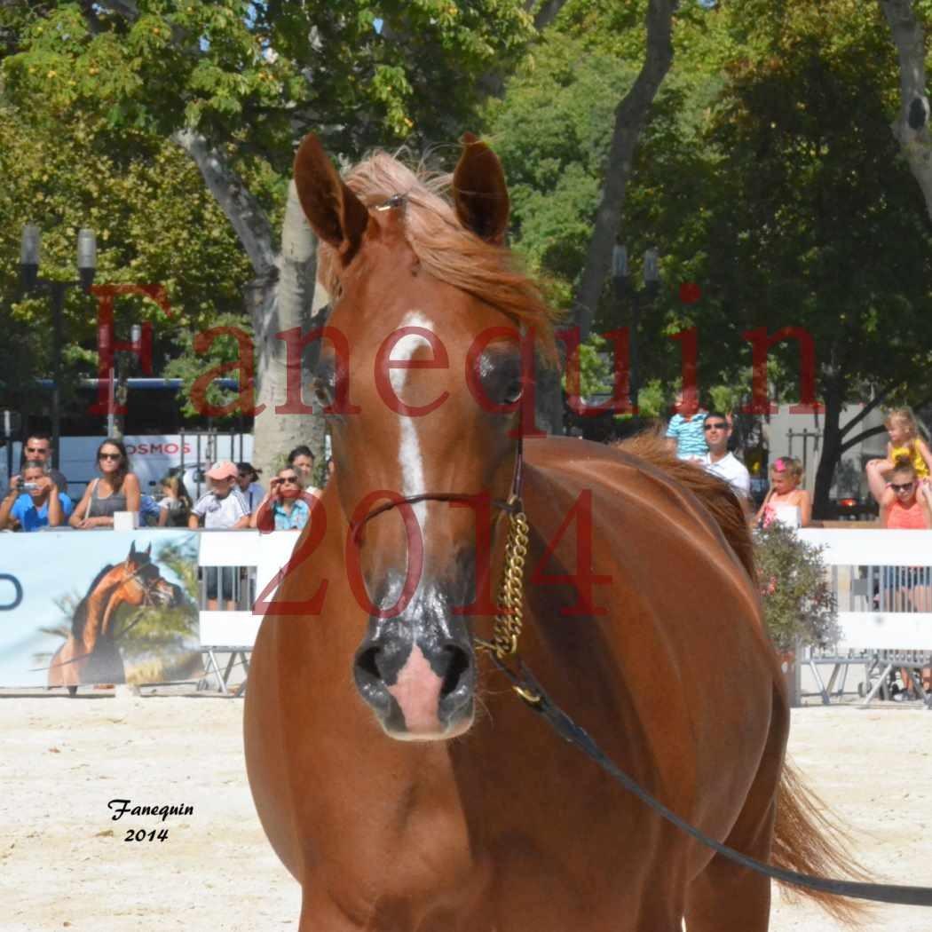 Concours National de Nîmes de chevaux ARABES 2014 - Notre Sélection - Portraits - MASSAI DE BARREL - 2