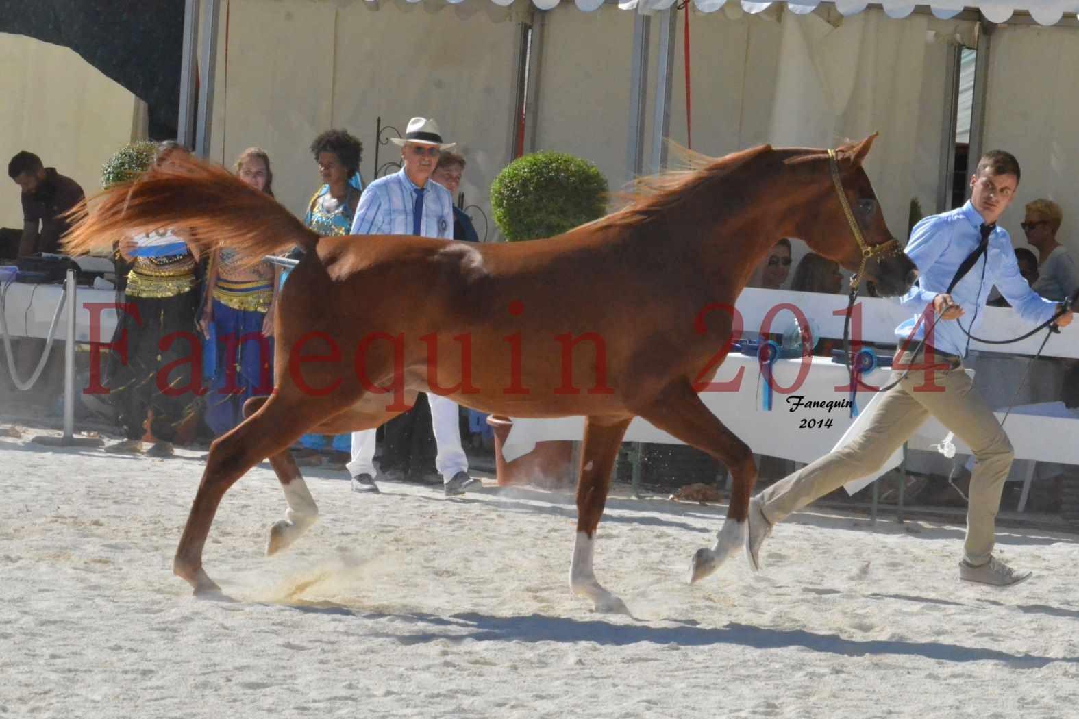 Concours National de Nîmes de chevaux ARABES 2014 - Notre Sélection - DZHARI NUNKI - 10