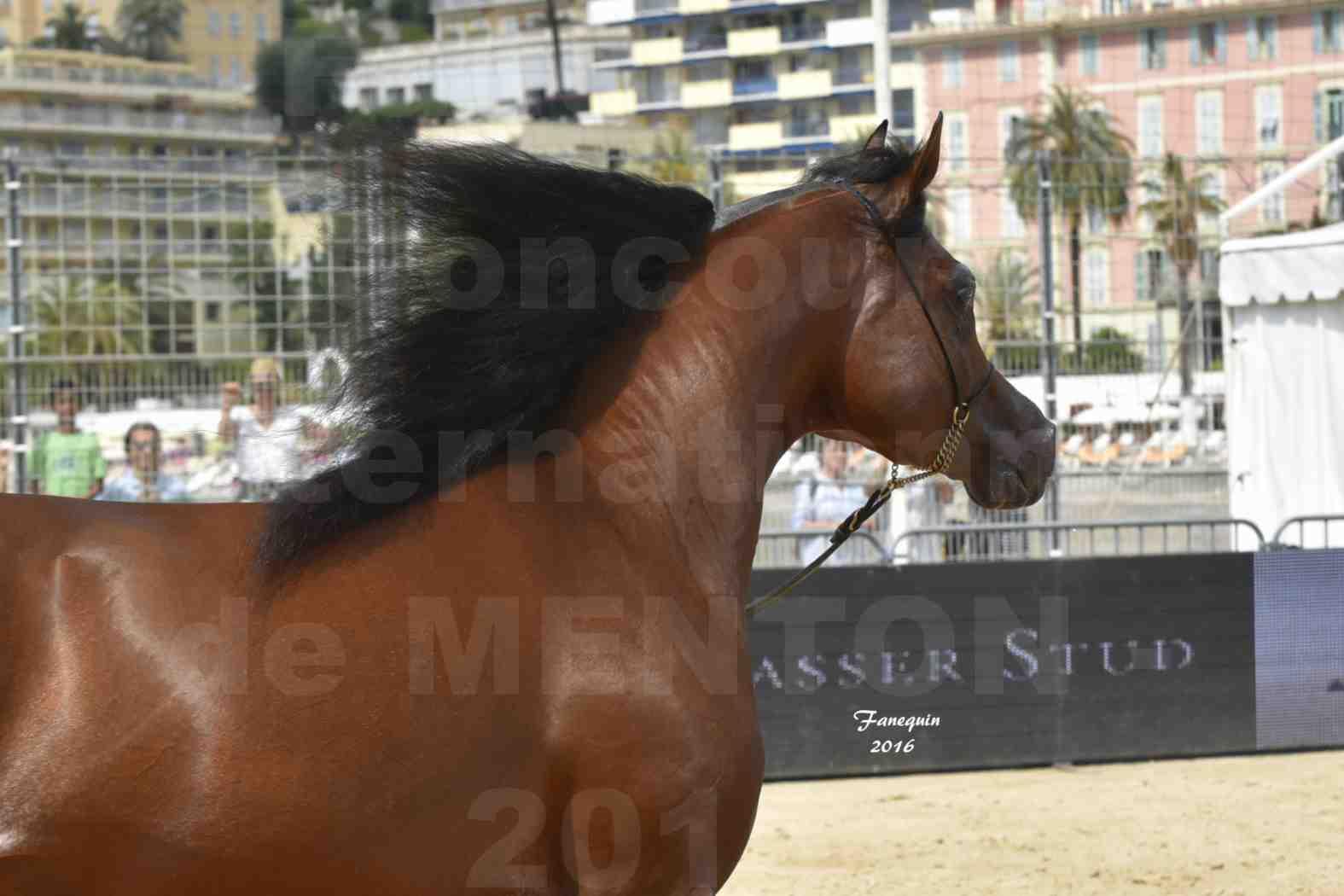 Championnat du pur-sang arabe de la Méditerranée et des pays arabes - MENTON 2016 - GALLARDO J - Notre Sélection - Portraits - 5