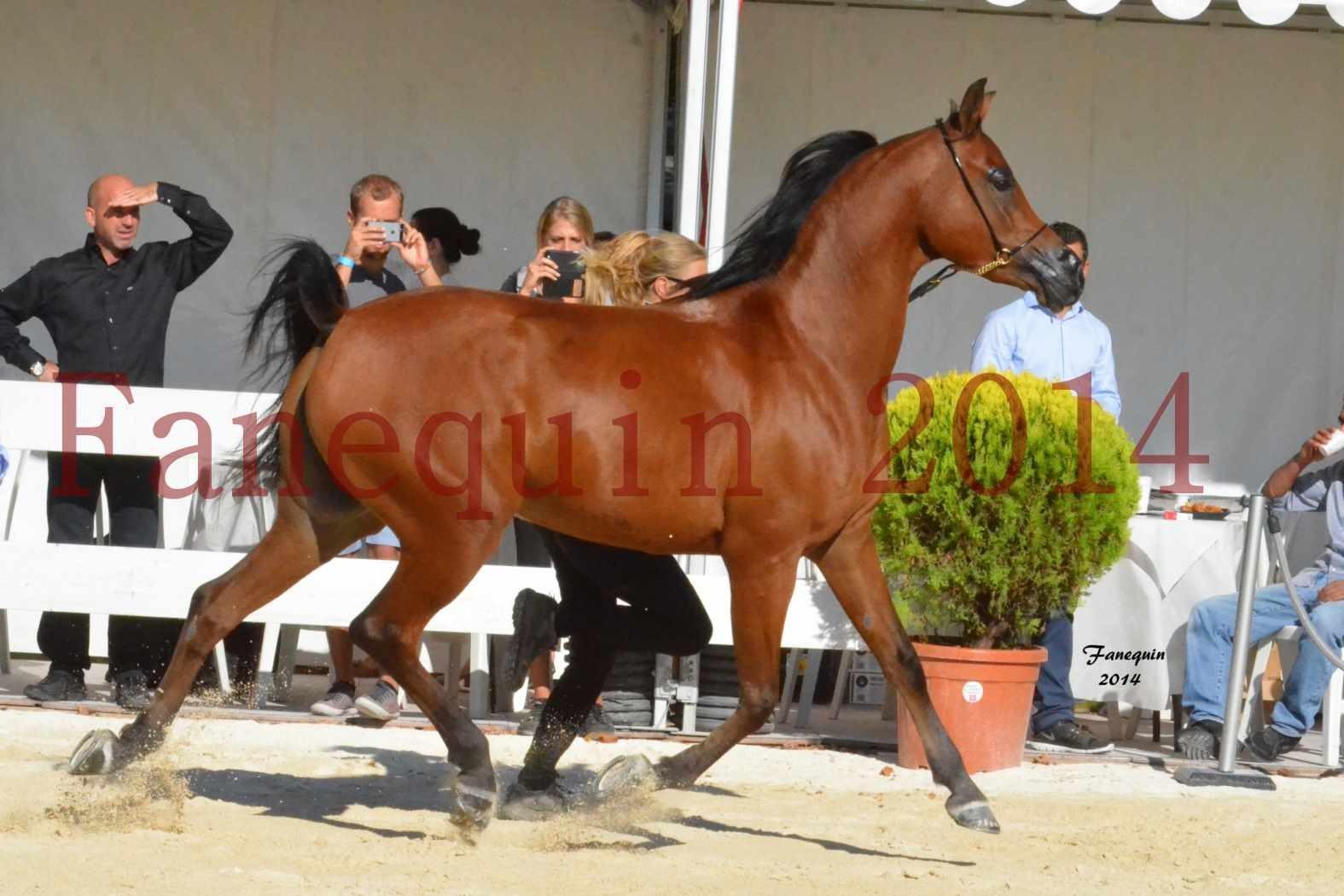 Concours National de Nîmes de chevaux ARABES 2014 - Notre Sélection - ABHA TALAWA - 3