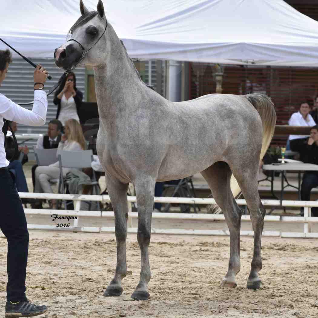 Show national de chevaux arabe à CHAZEY sur AIN - ANWAR ISHANE - 5