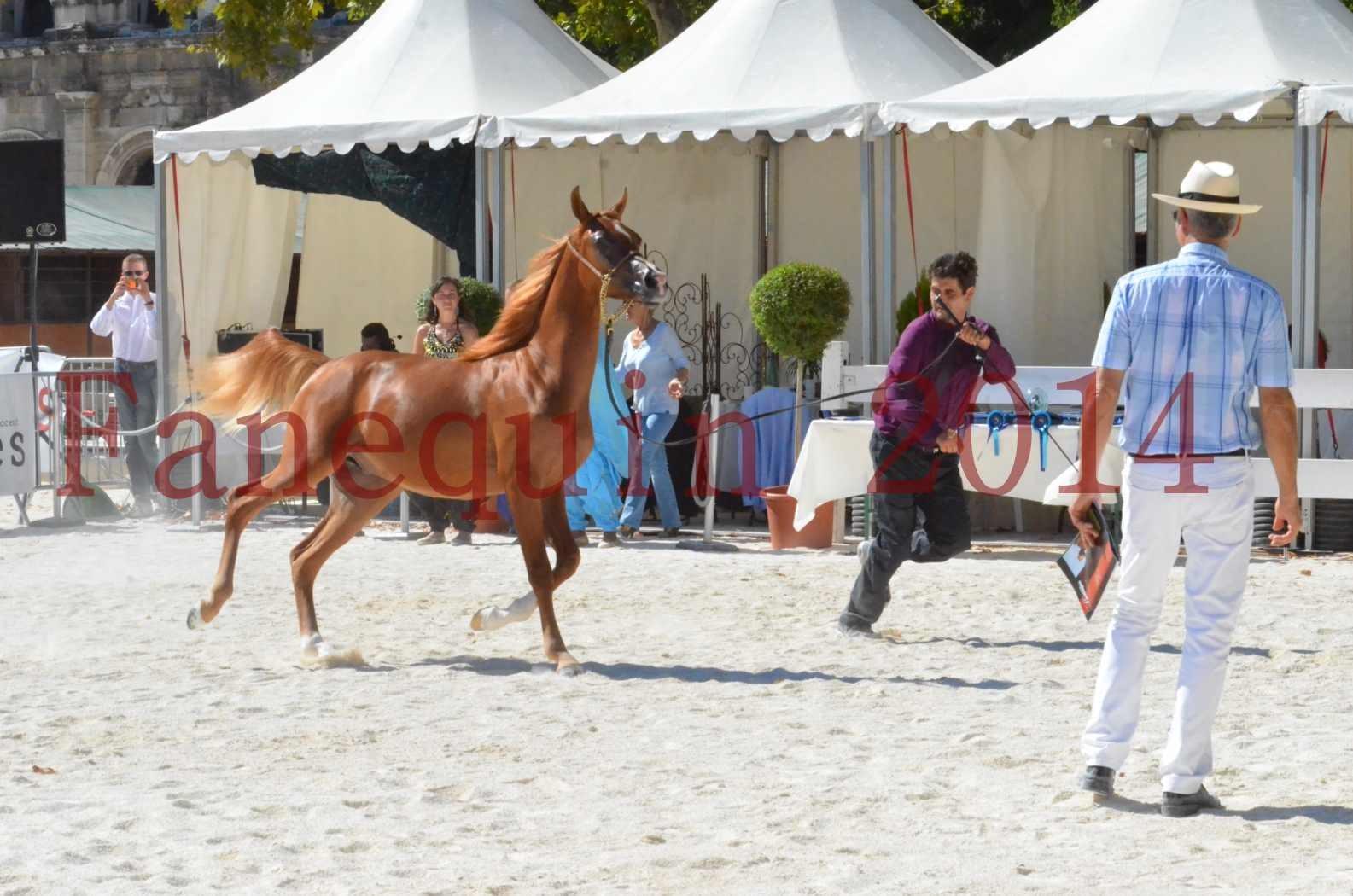 Concours National de Nîmes de chevaux ARABES 2014 - TSAR NERIO - 15