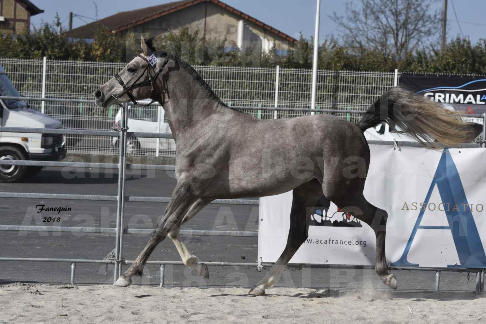 Concours d'élevage de Chevaux Arabes - D. S. A. - A. A. - ALBI les 6 & 7 Avril 2018 - GRIMM DE DARRA - Notre Sélection - 7