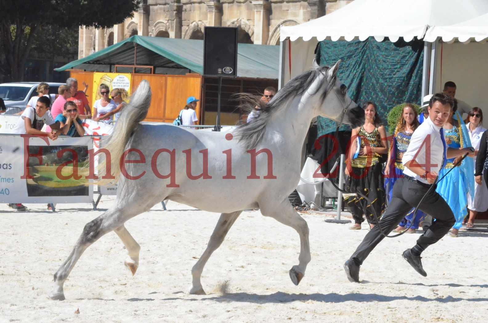 Concours National de Nîmes de chevaux ARABES 2014 - Sélection - SHAOLIN DE NEDJAIA - 61