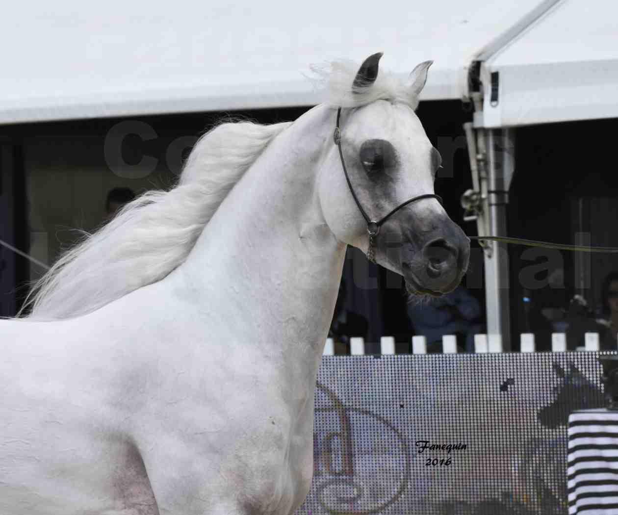 Show International de chevaux ARABES de MENTON 2016 - AJA ANGELO - Notre Sélection - Portraits - 10