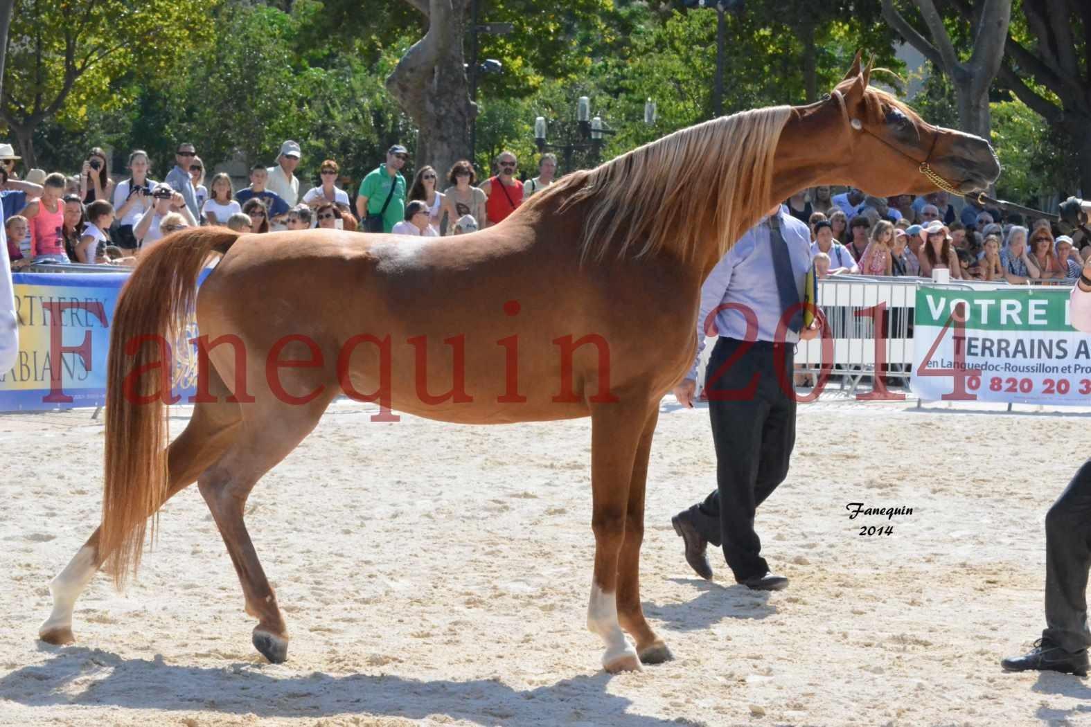 Concours National de Nîmes de chevaux ARABES 2014 - Notre Sélection - MASSAI DE BARREL - 04